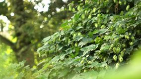 Green bush with ripe hop cones in the garden. Slow motion. 1080p full HD video. A green bush with ripe cones of hops in the garden, bees fly over a bush. Beer stock footage