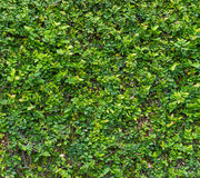 Green Bush. Seamless Tileable Texture Royalty Free Stock Photos