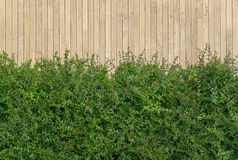 Green Bush Shot Against Wooden Wall Royalty Free Stock Photography