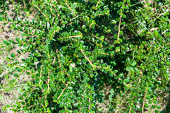Green bush. With small leaves Stock Images