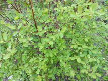 Green bush with small leaves in the rain drops Stock Photos