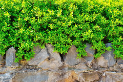 Green bush on a stone fence Stock Photography