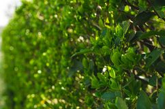 A Green Bush on a Sunny Spring Day. Texture, background stock image