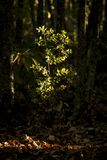 Green bush in sunray in woods. Small growing green bush illuminated with sunbeam of sun on background of dark trees royalty free stock photos