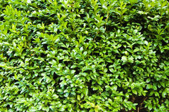 Green Bush Texture Stock Image