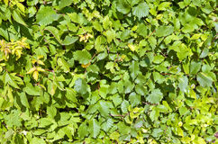 Green bush texture Stock Photography