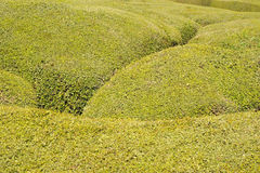 Green bush texture Royalty Free Stock Image