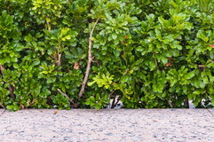 Green bush texture background with stone floor. Stock Photography