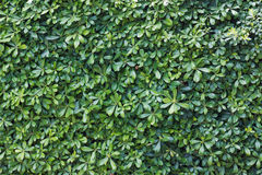 Green Bush Texture. Stock Images