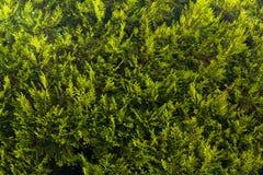 Green Bush Texture. Royalty Free Stock Image