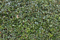 Green Bush Texture. Royalty Free Stock Images