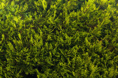 Green Bush Texture. Stock Photo