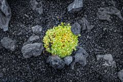 Green bush between volcanic rocks in Mount Etna stock photo