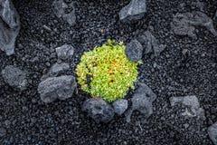 Green bush between volcanic rocks in Mount Etna stock photo