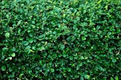 The green bush wall. This is the green bush wall royalty free stock image