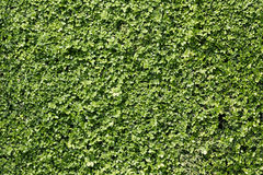 Green bush wall background texture Stock Photos