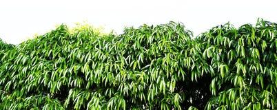 Green bush on white background beauty environment plant. Closeup tree green bush on white background beauty environment plant stock photography