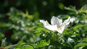Green bush with white bud of wild rose against background of park or garden. HD footage video. 1080 stock footage
