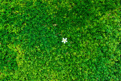 Green bush with white flower. Green leaves wall. Royalty Free Stock Photos