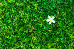 Green bush with white flower. Green leaves wall. Stock Photography