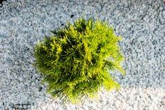 Green bush on white pebbles stock photography