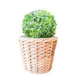 Green bush in wicker basket isolated on white background Royalty Free Stock Photos