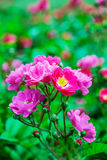 Green bush of wild rose Royalty Free Stock Images
