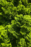 Green bushes Stock Images