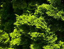 Green bushes Royalty Free Stock Images