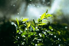 Fresh and green bushes in the garden watered Royalty Free Stock Photography