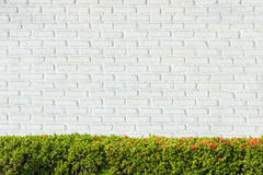 Green Bushes fences at White brick wall backgrounds. Royalty Free Stock Images