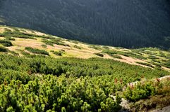 Green bushes growing in the mountains royalty free stock images