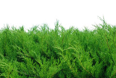 Green bushes isolated on white stock photography
