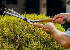 Green bushes pruning with garden shears. Gardener doing his job, pruning bushes. Professionally Royalty Free Stock Image