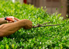 Green bushes pruning with garden shears. Gardener doing his job, pruning bushes. Professionally Stock Images