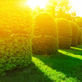 Green bushes in sun light Royalty Free Stock Photo