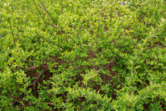 Green bushes texture Royalty Free Stock Photo