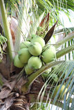 Green bushy coconuts on the coconut tree Royalty Free Stock Photography