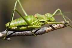 Green buske-cricket Fotografering för Bildbyråer