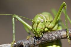 Green buske-cricket Royaltyfri Fotografi