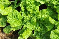Green Buttavia Stock Photos