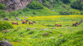 Green buttercup flower pastures of horse farms. Rainy day. Count Stock Images