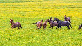 Green buttercup flower pastures of horse farms. Rainy day. Country spring (summer) landscape Stock Image