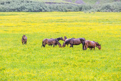 Green buttercup flower pastures of horse farms. Rainy day. Country spring (summer) landscape Stock Photos