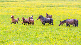 Green buttercup flower pastures of horse farms. Rainy day. Country spring summer landscape Royalty Free Stock Images