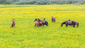 Green buttercup flower pastures of horse farms. Rainy day. Country spring summer landscape Stock Photos