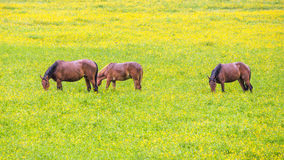 Green buttercup flower pastures of horse farms. Rainy day. Country spring summer landscape Stock Photo