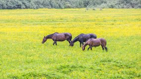 Green buttercup flower pastures of horse farms. Rainy day. Country spring summer landscape. Green buttercup flower pastures of horse farms. Rainy day. Country Royalty Free Stock Image