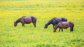 Green buttercup flower pastures of horse farms. Rainy day. Country spring summer landscape Stock Images