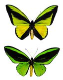 Green butterflies Royalty Free Stock Images